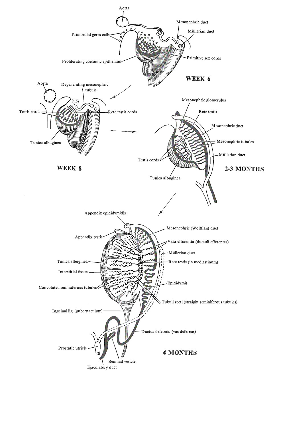 development of the testis: image #1