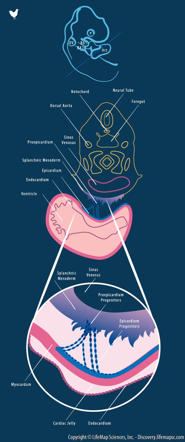 Embryonic Epicardium Progenitors Origin