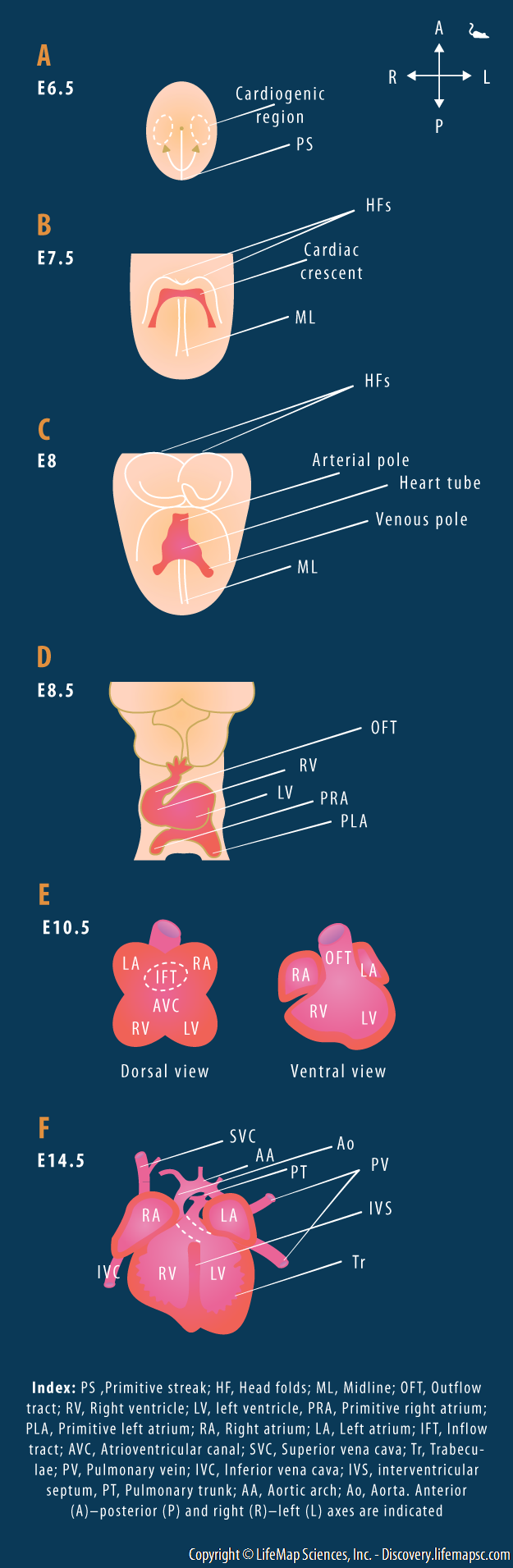 Embryonic Heart Development