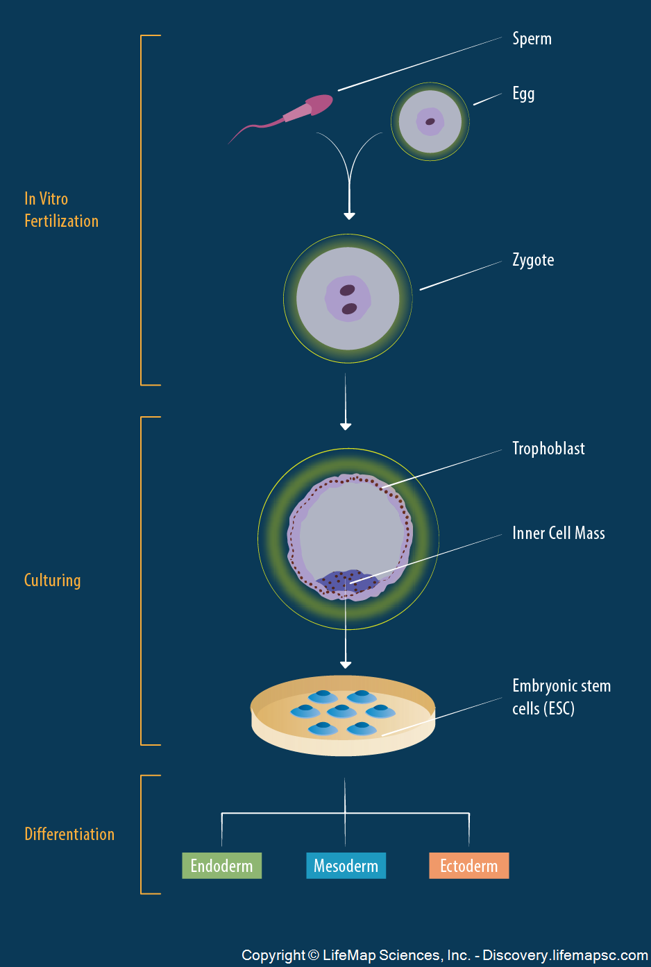 Derivation of Embryonic Stem Cells