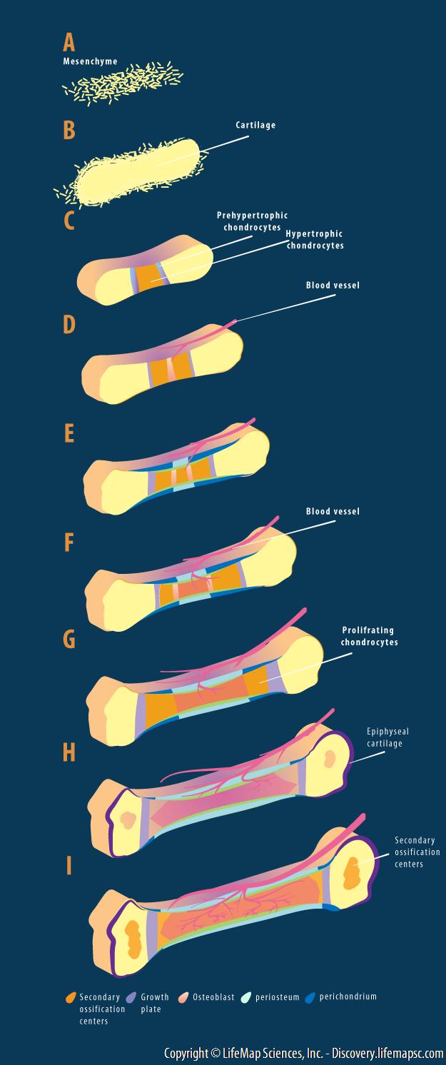 Endochondral Bone Development