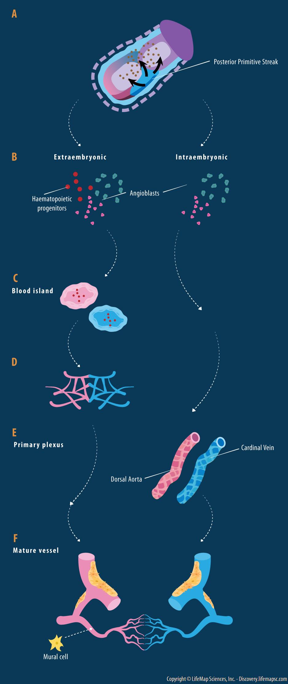 Endothelium Development