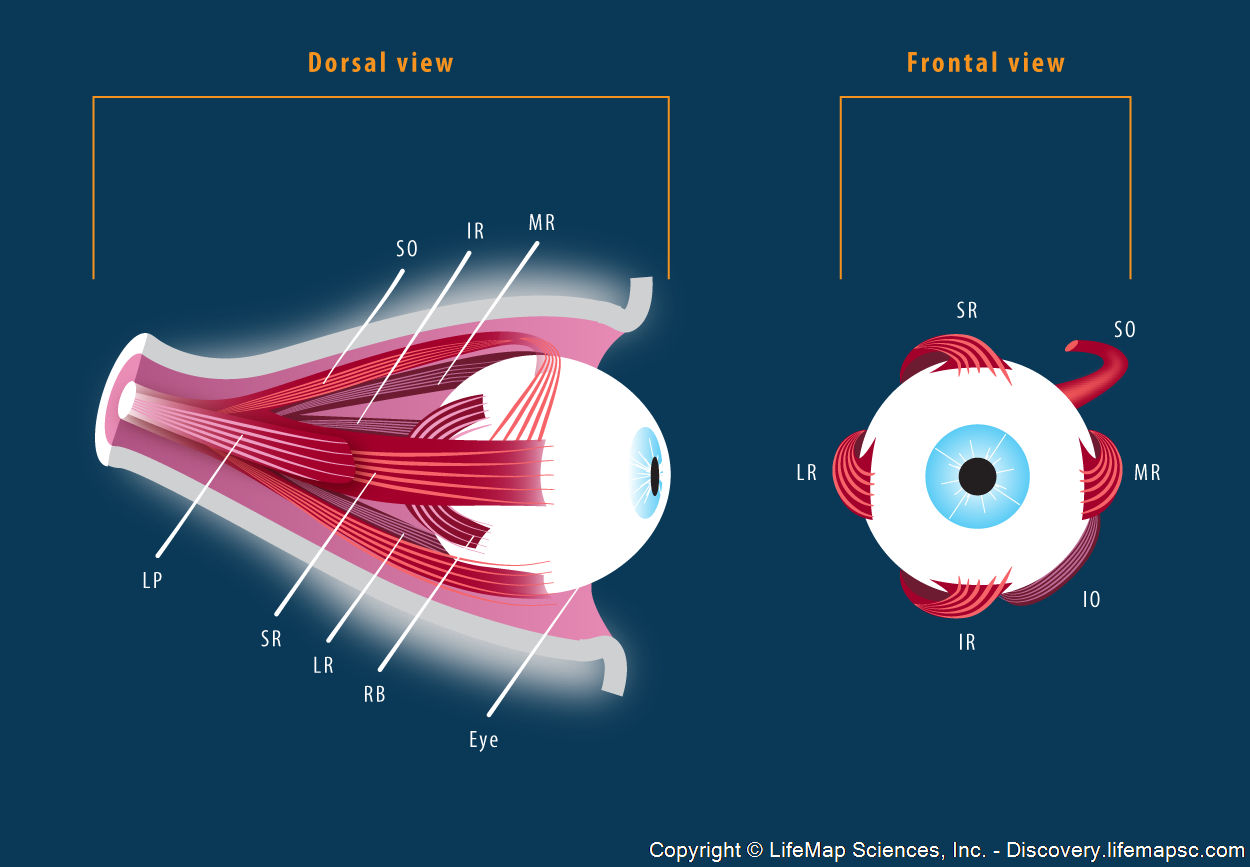 Extraocular Skeletal Muscle Anatomy infographic - LifeMap Discovery