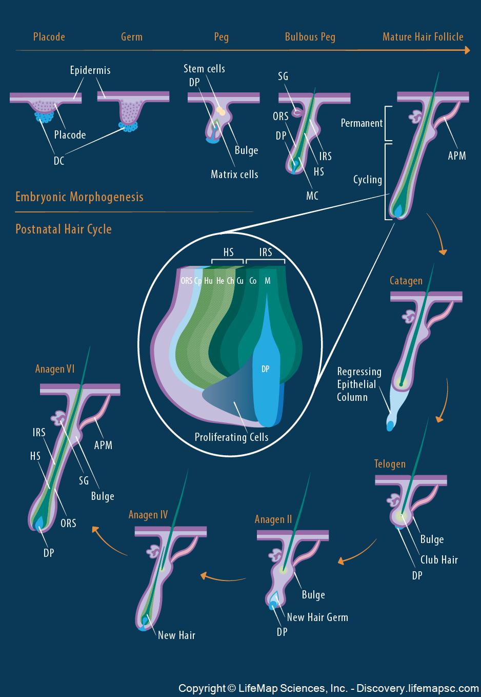 Hair morphogenesis