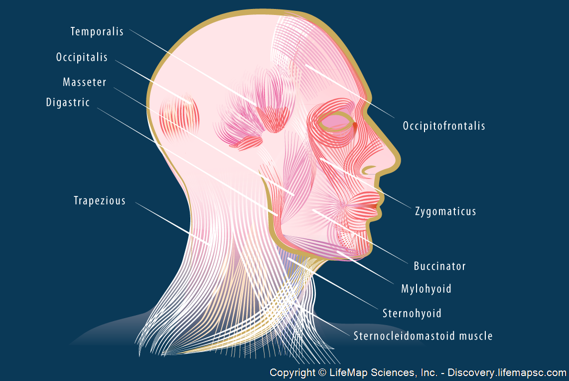 Head Musclature