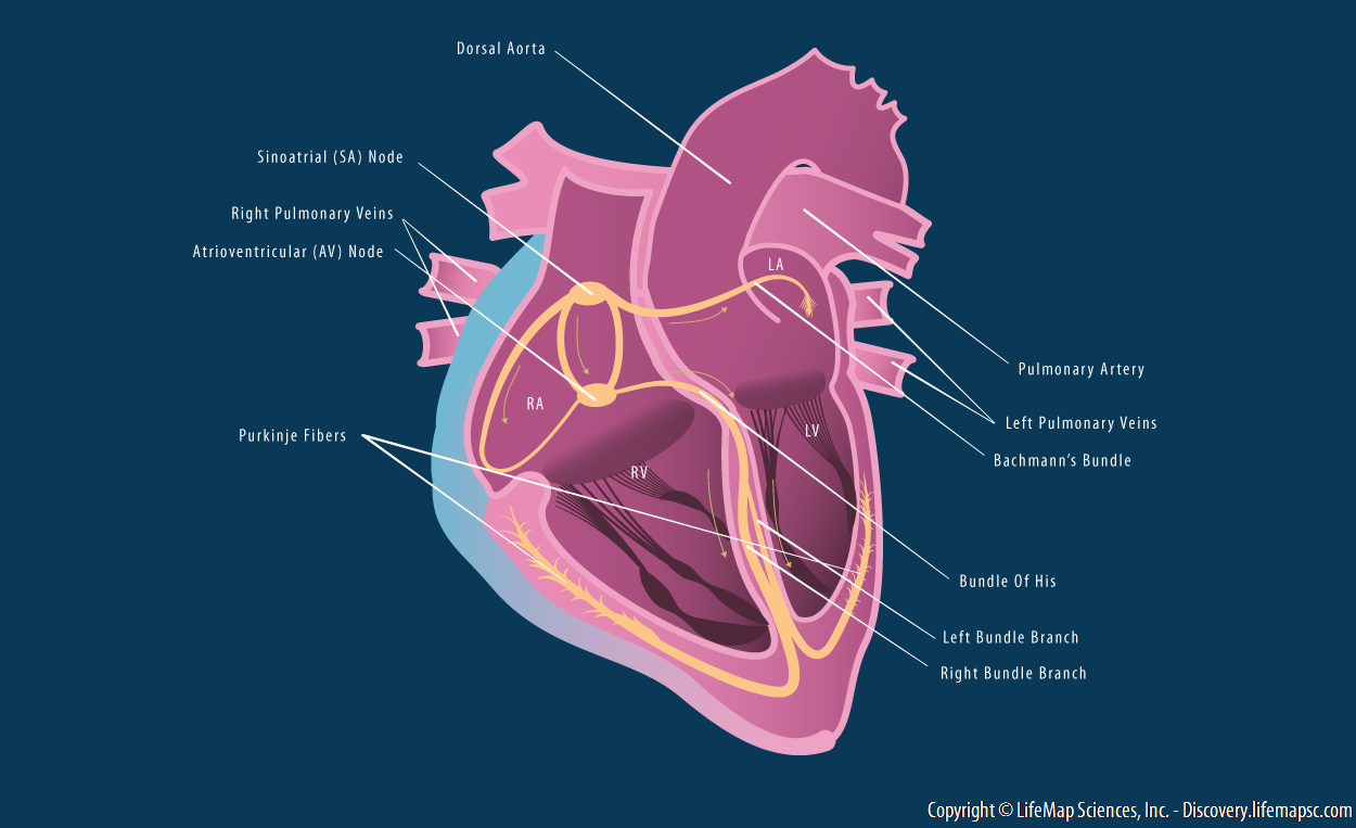 Heart Conduction System