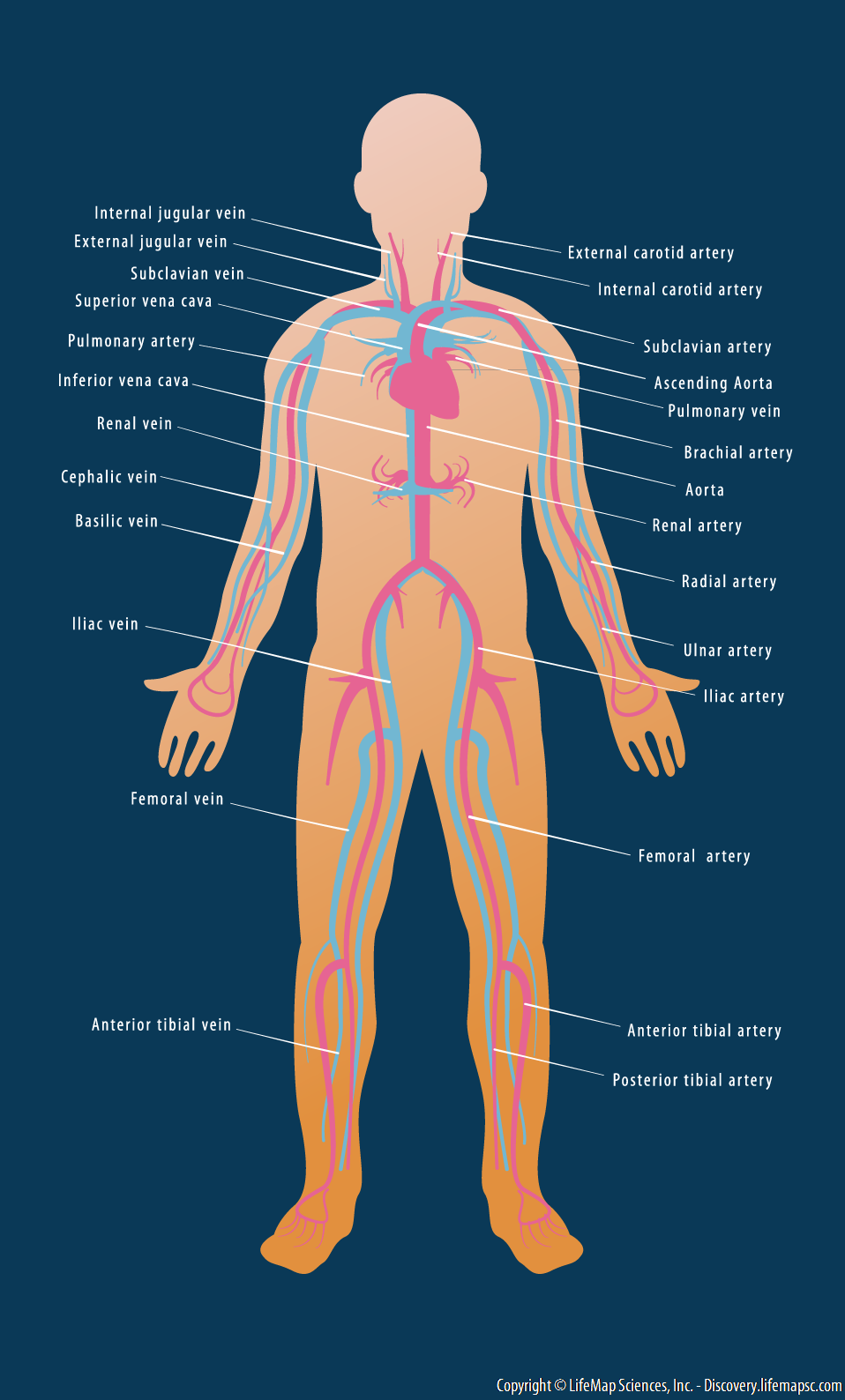 Human Cardiovascular System Infographic Lifemap Discovery