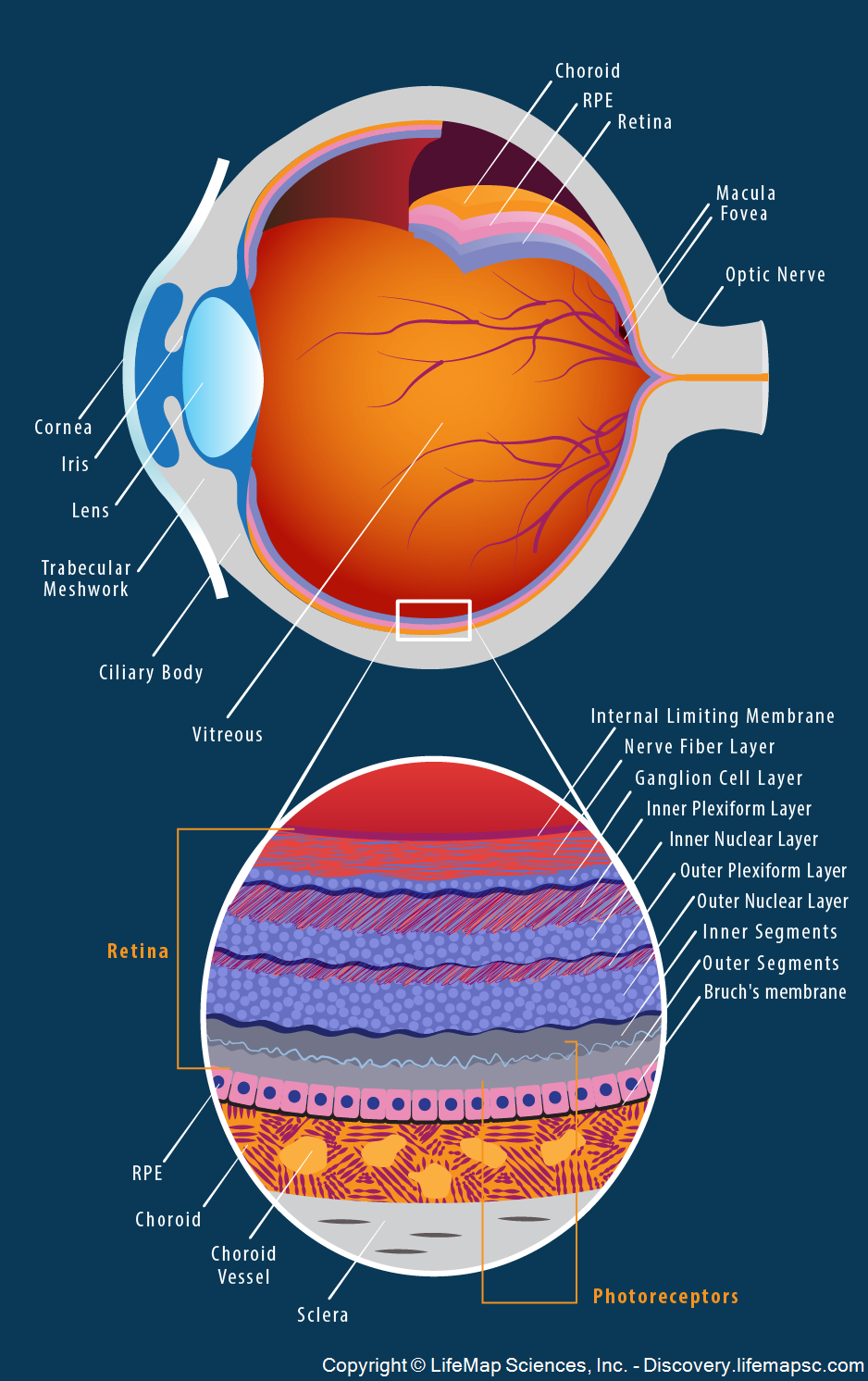 Human Eye Anatomy infographic - LifeMap Discovery