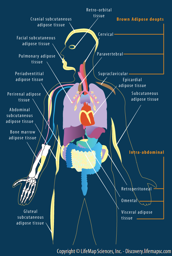 Human Fat Distribution infographic - LifeMap Discovery