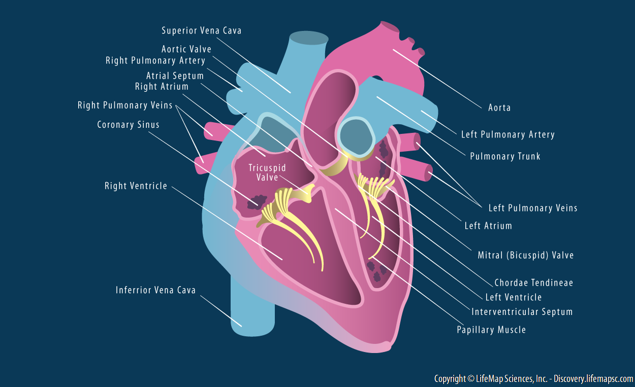 Human heart structure infographic lifemap discovery ccuart Image collections