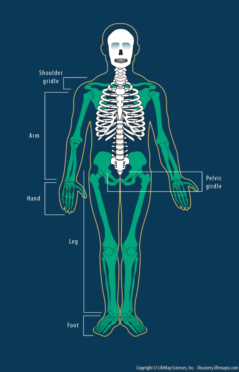 Human Limb Bones