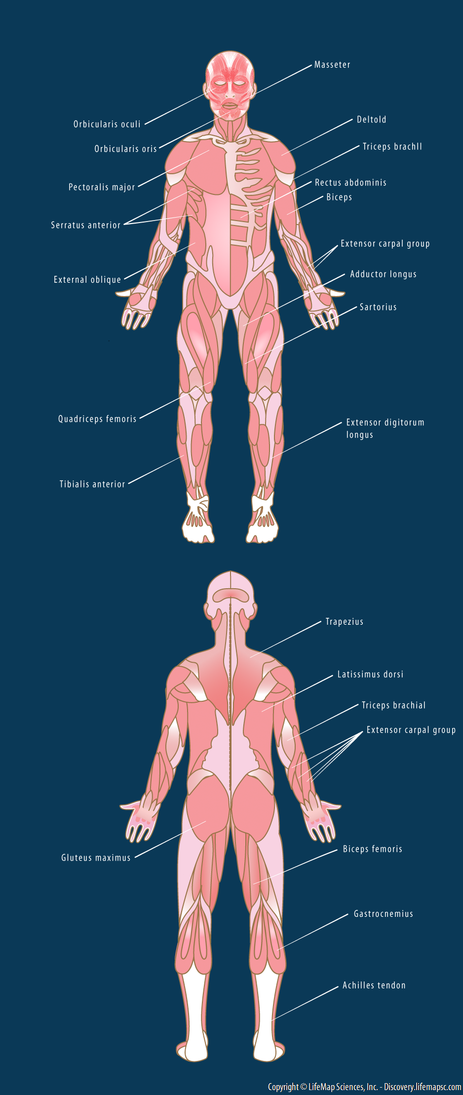 Human Skeletal Muscle Distribution Infographic Lifemap Discovery
