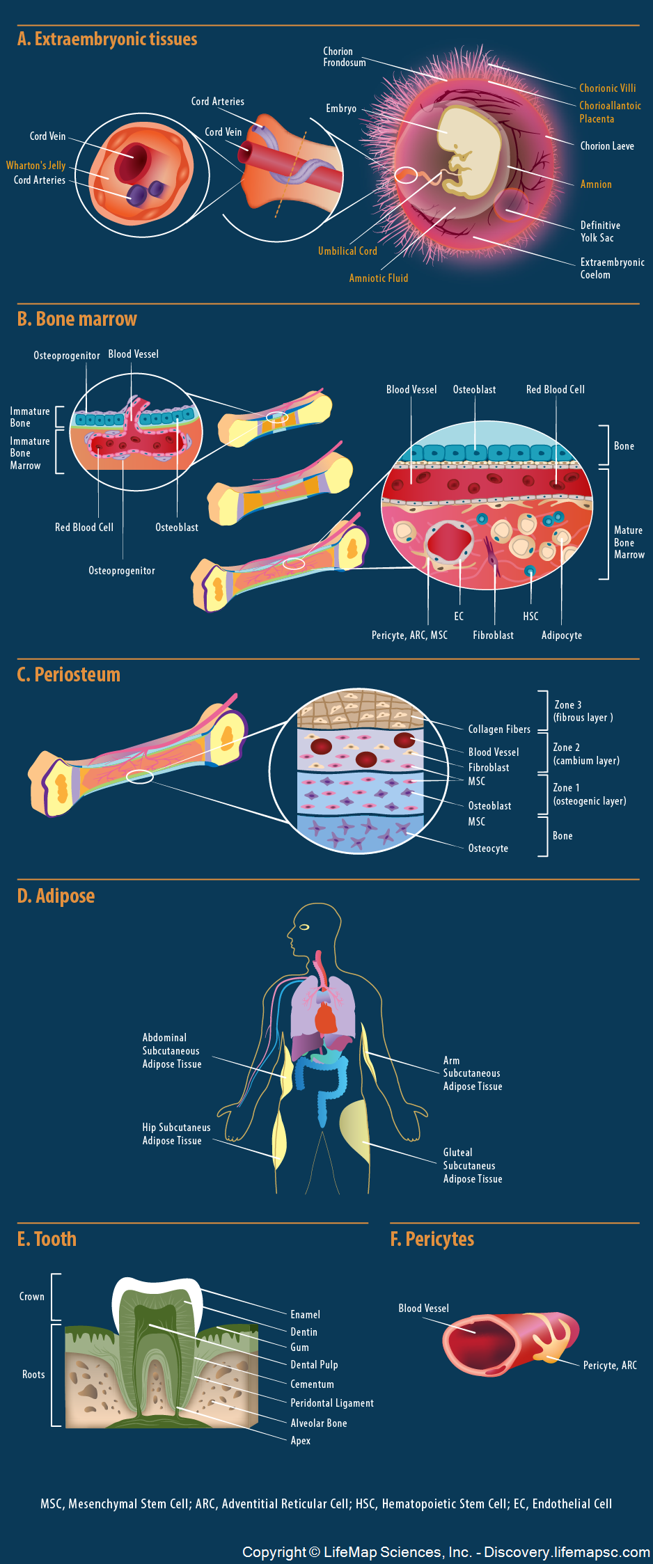 In-vivo Mesenchymal Stem Cells Origin