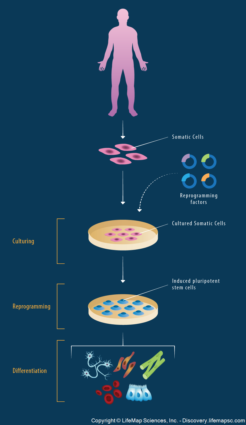Derivation of Induced Pluripotent Stem Cells