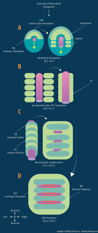 Intervertebral Disc (IVD) Development
