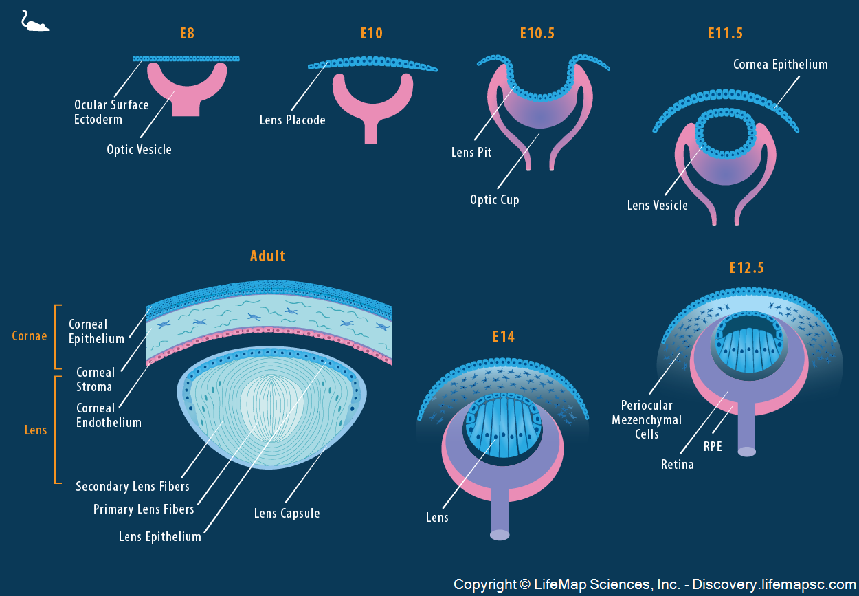 Mouse Lens and Cornea Development