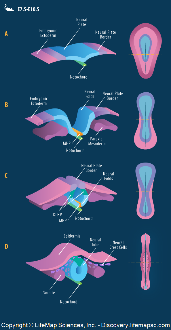 Neural tube formation by primary neurulation