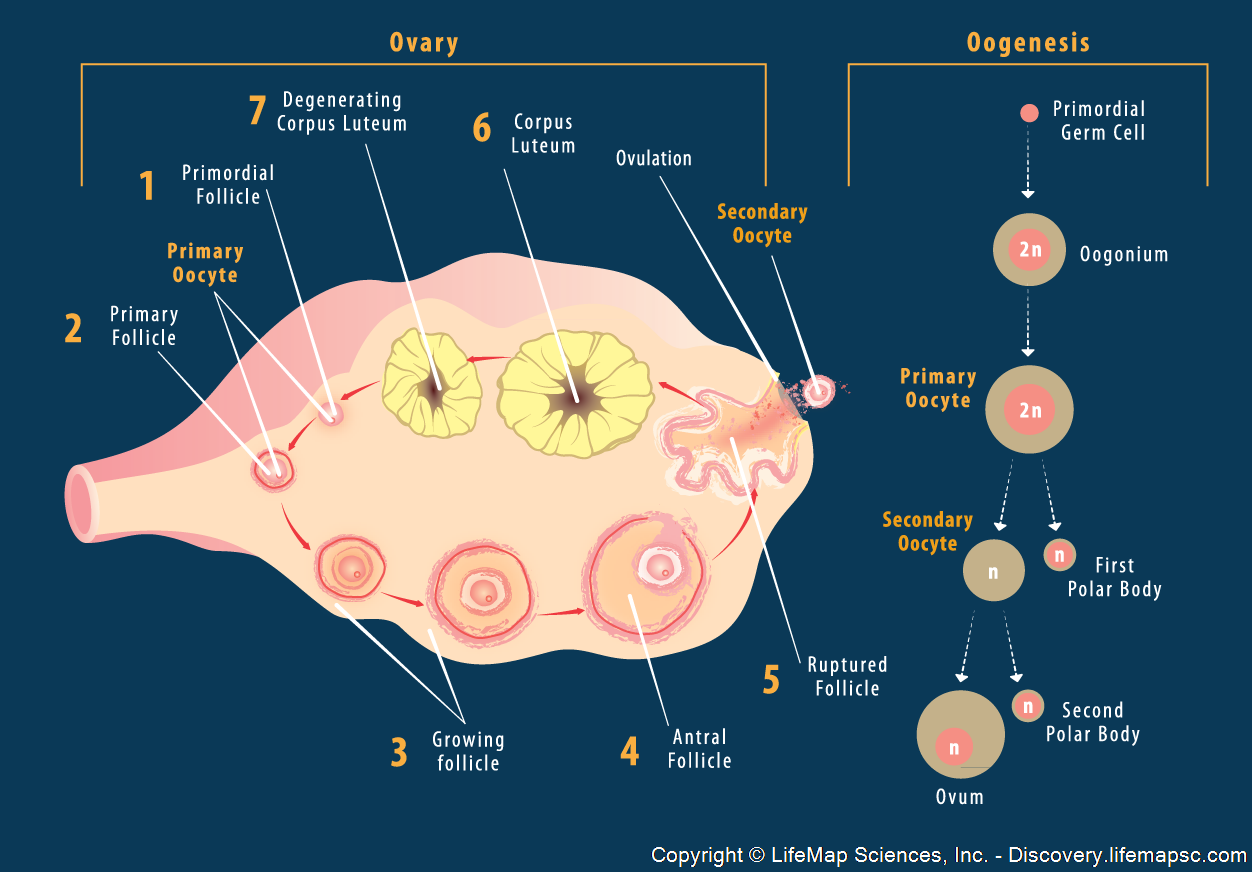 Oogenesis in Ovary