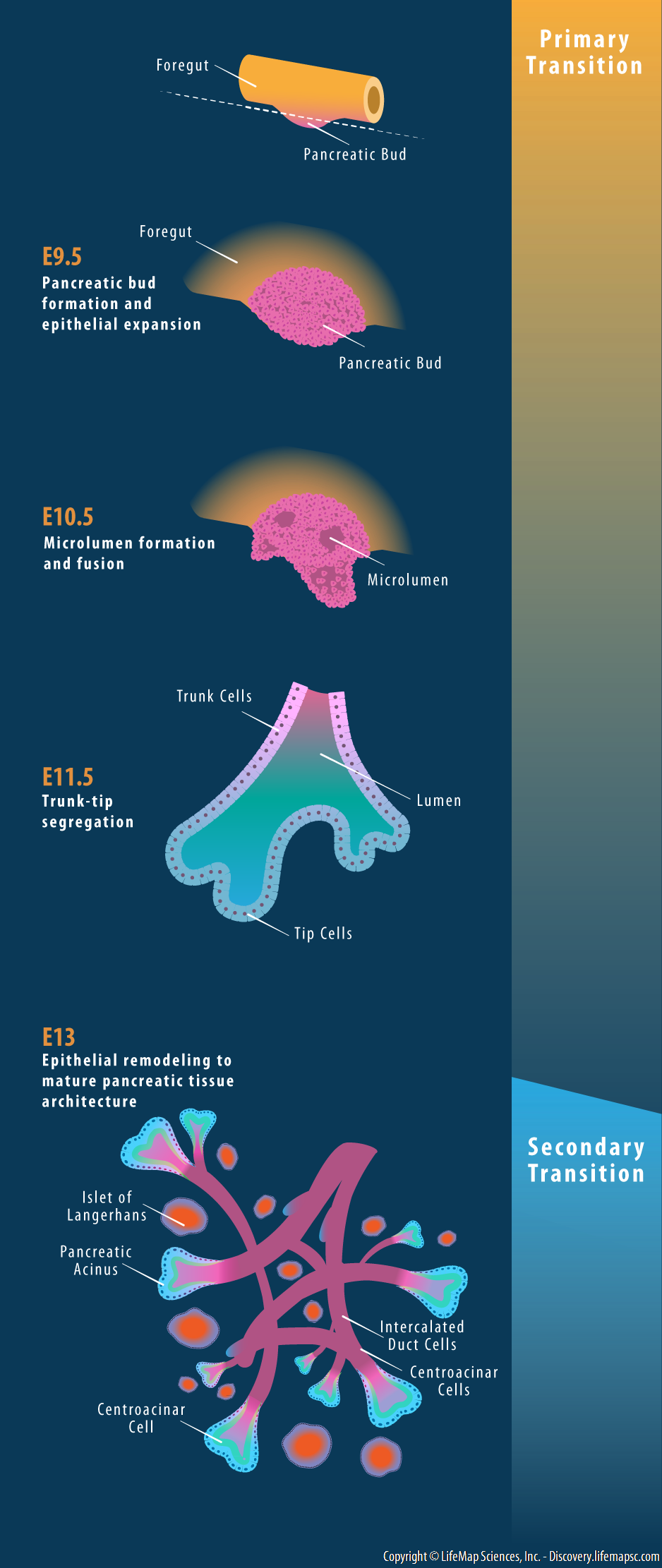 Pancreatic Tissue Development