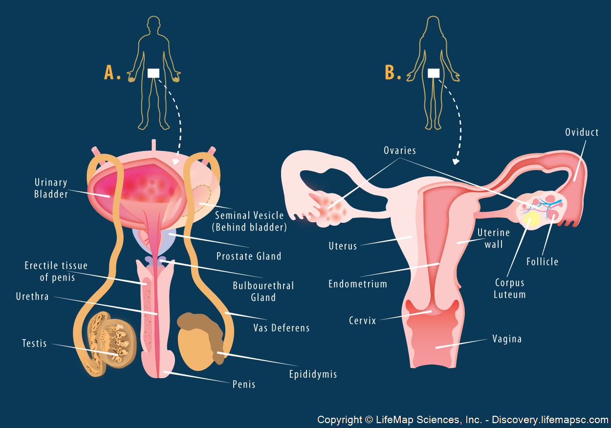 Reproductive system structure infographic lifemap discovery ccuart Image collections