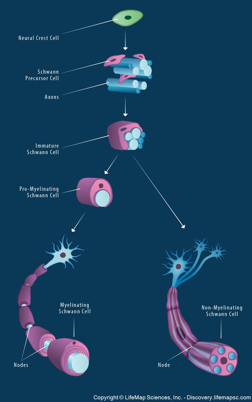 Schwann Cell Lineage