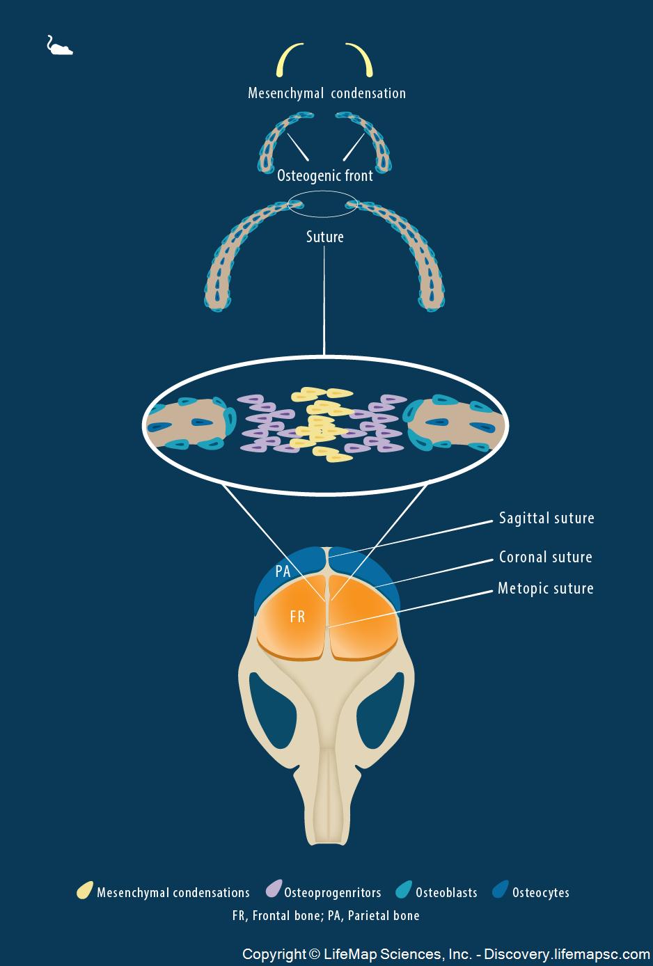 Skull Bone Development