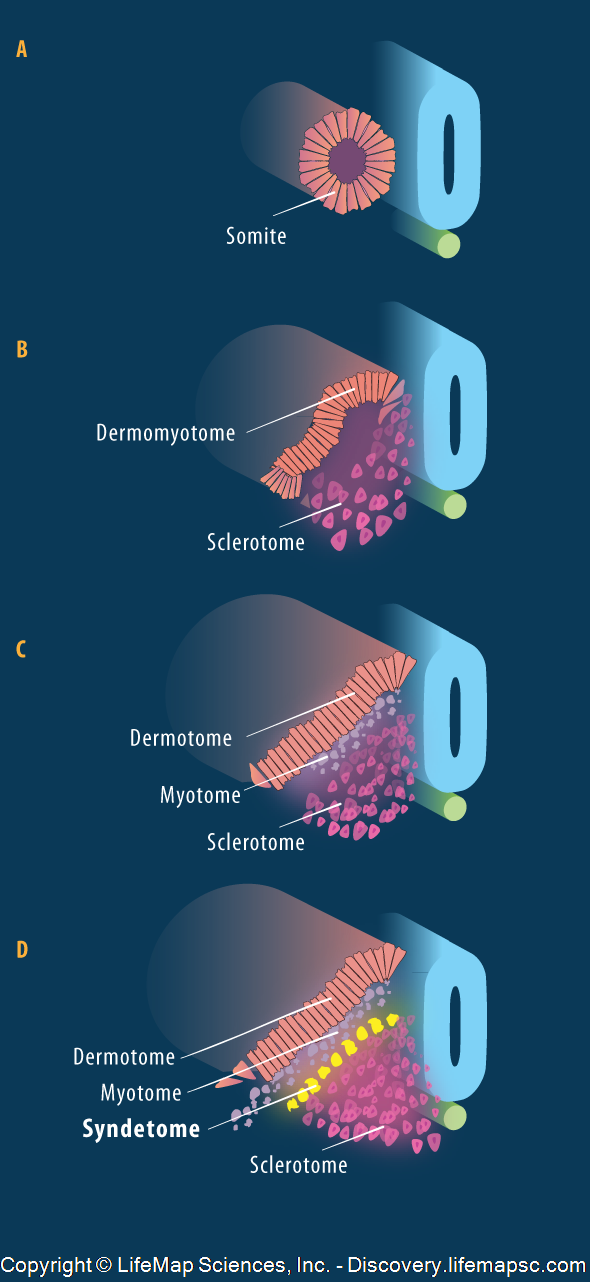 Syndetome Formation