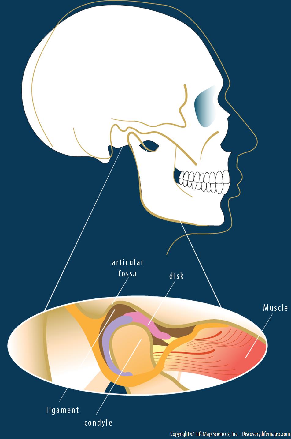 Temporomandibular Joint Tmj Anatomy Infographic Lifemap Discovery