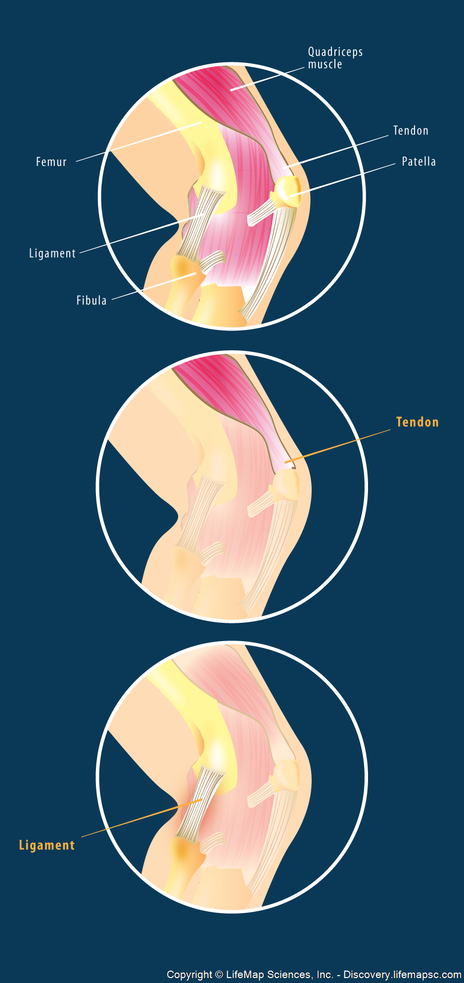 Tendons And Ligaments Of The Human Knee Infographic Lifemap Discovery