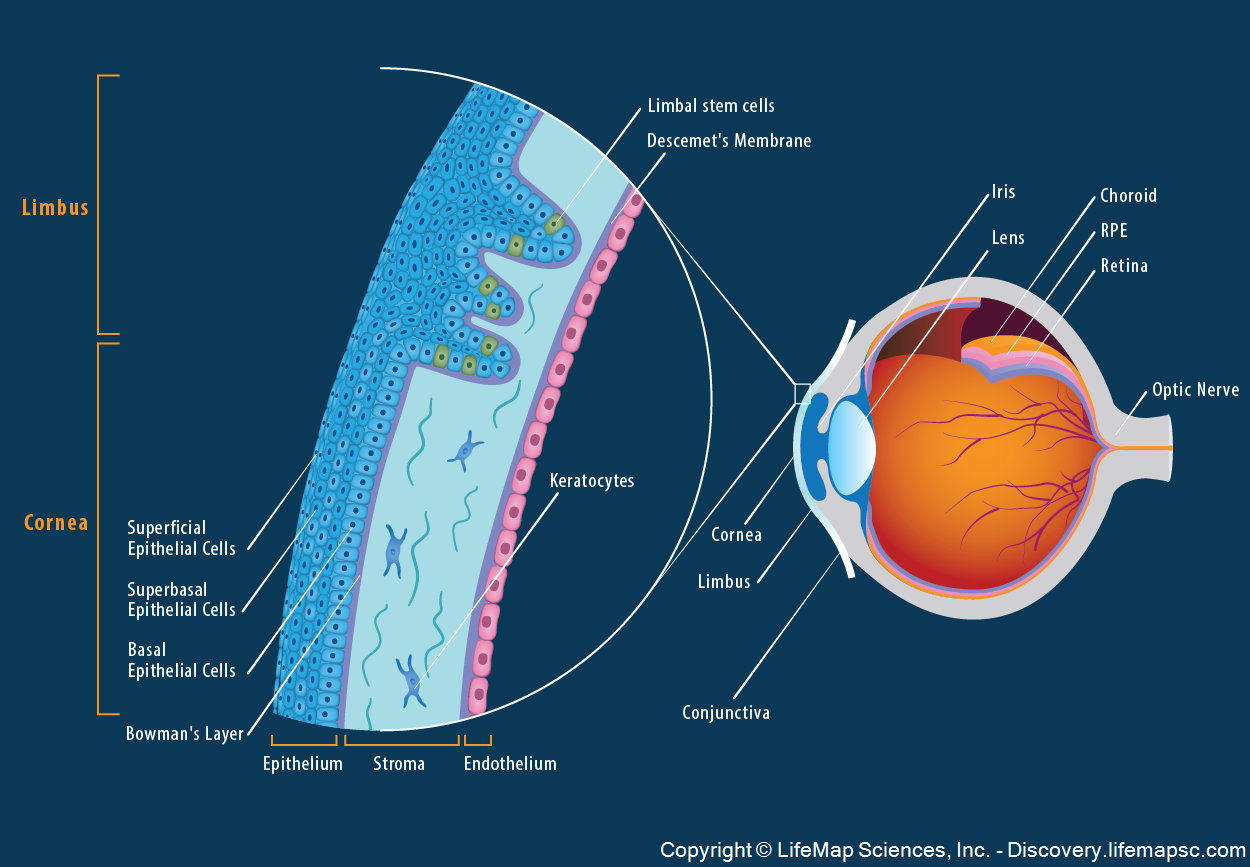 The Anatomy and Structure of the Adult Human Cornea infographic ...