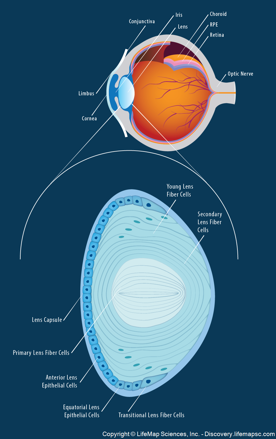 The Anatomy and Structure of the Adult Human Lens infographic ...