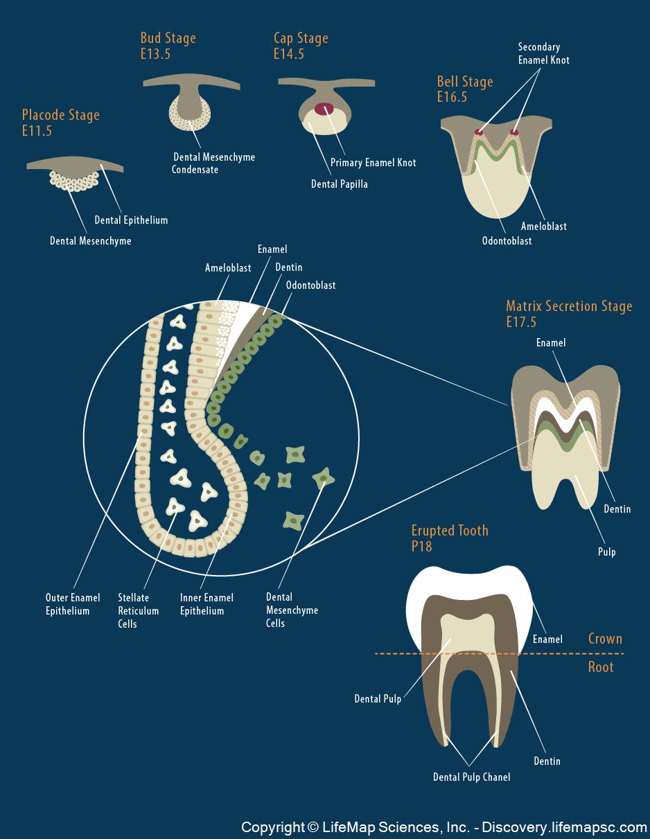 Tooth Morphogenesis